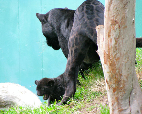 Link to Flickr: Panther and baby at the Lima zoo
