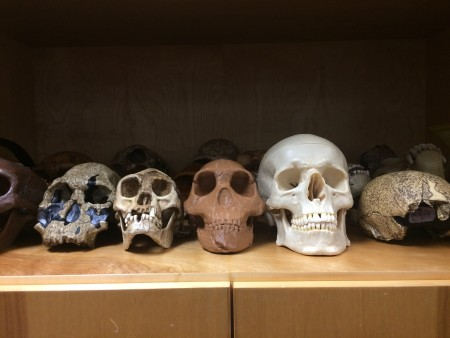 { Caption: H. naledi skull (center) in the replica cabinet. }