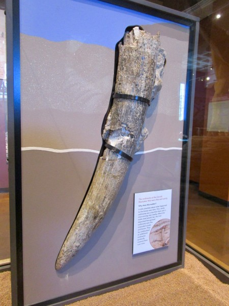 { Caption: Mastodon tusk displayed as found in sediment. }