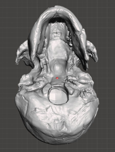 { Inferior view of the hole I made in the foramen magnum (where the spinal cord connects to the brain) showing the hollow interior. The interior was calculated in Meshmixer and does not reflect the actual fossil's appearance. It makes the 3D print 30% cheaper, though. }